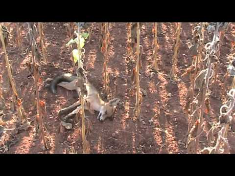 Ojeo de conejos en campo de girasol