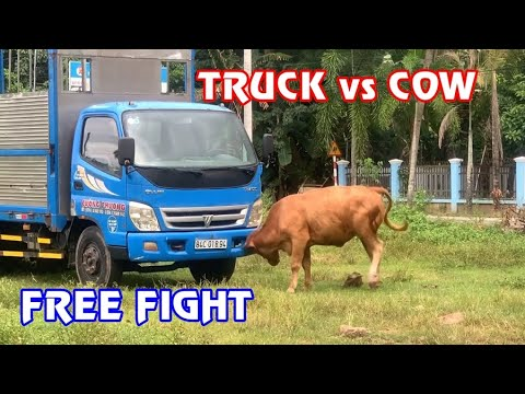 COW vs TRUCK _   Funny  Free Fight