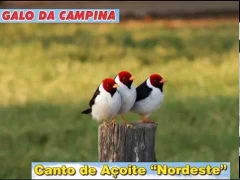 Galo da Campina - Canto Açoite
