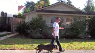 Learn To Train TGD Way: Pitbull Mix Leash Pulling Resolved