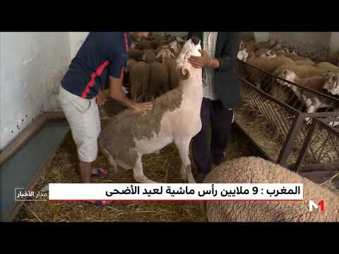 المغرب: 9 ملايين رأس ماشية لعيد الأضحى