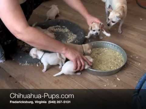 What Age Do Puppies Eat Dog Food