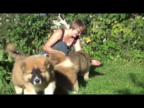 Caucasian Shepherd puppies - boys 2 months. For Sale!