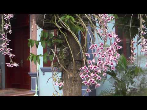 Phong Lan Phi Điệp tại vườn nhà.