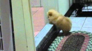 [Siêu Kute] Cún Quá Ú chân ngắn Không Trèo Qua Cửa Nổi!