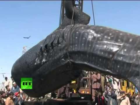 Cá mập voi lớn nhất thế giới