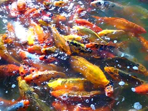 Giant koi fish youtube for Giant koi fish