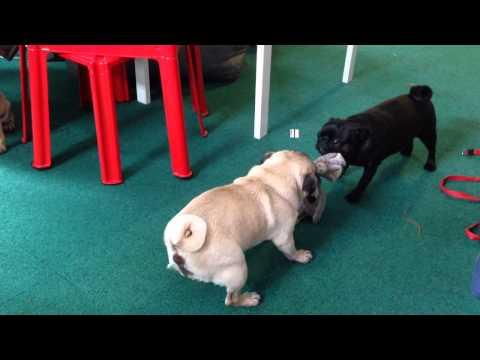 Walki psów rasy uznanej za niebezpieczną ;)