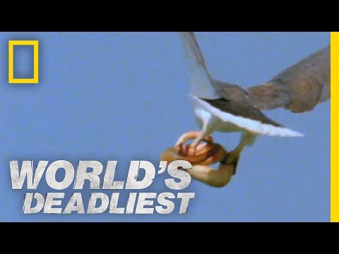 World's Deadliest - Eagle vs. Toxic Snake