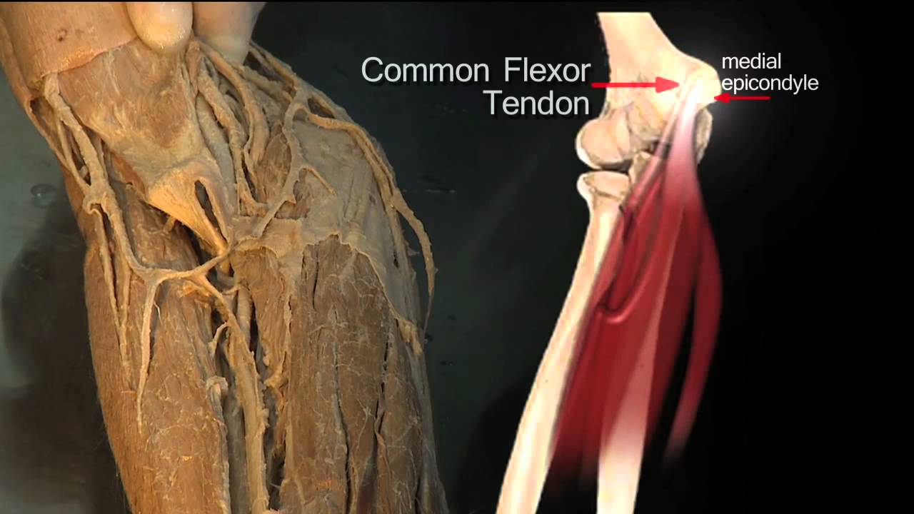 Muscles of the Upper Limb Made Easy - PDF Free Download