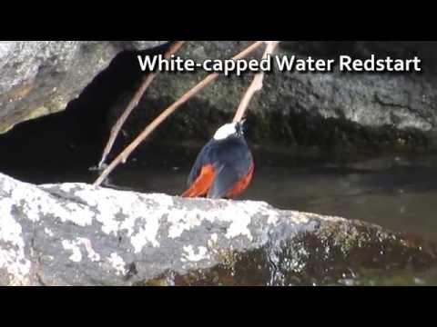 White-capped Water Redstart - Birdwatching Thailand