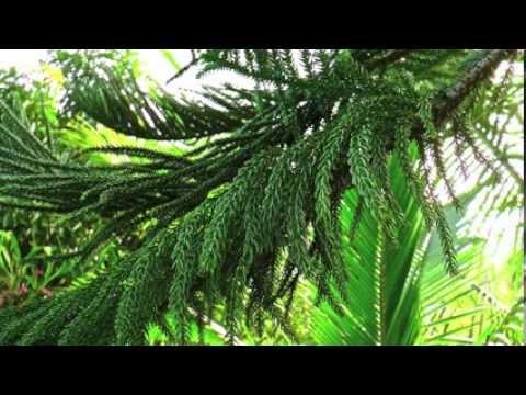 Le cocotier et le sapin / The coconut palm and the spruce tree - Arhâ