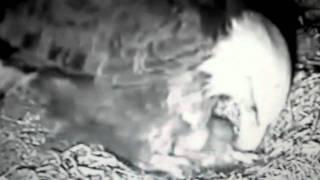 BABY EAGLE.AVI view on youtube.com tube online.