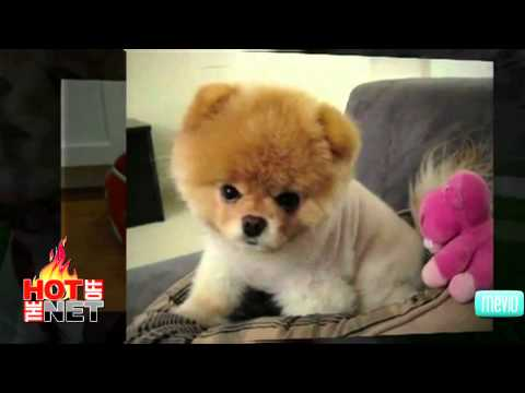 Cutest Dog Videos on Youtube, Watch a new Hot Off The Net daily at http://hotoff.mevio.com The first video up is called Puppy vs Mirror where you see Rambo being extremely stinking cute. ...