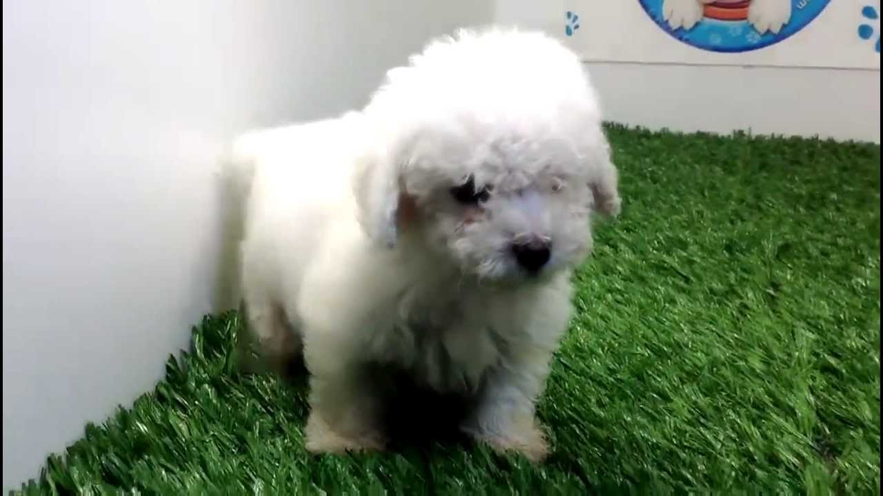 Miniature Toy French Poodle