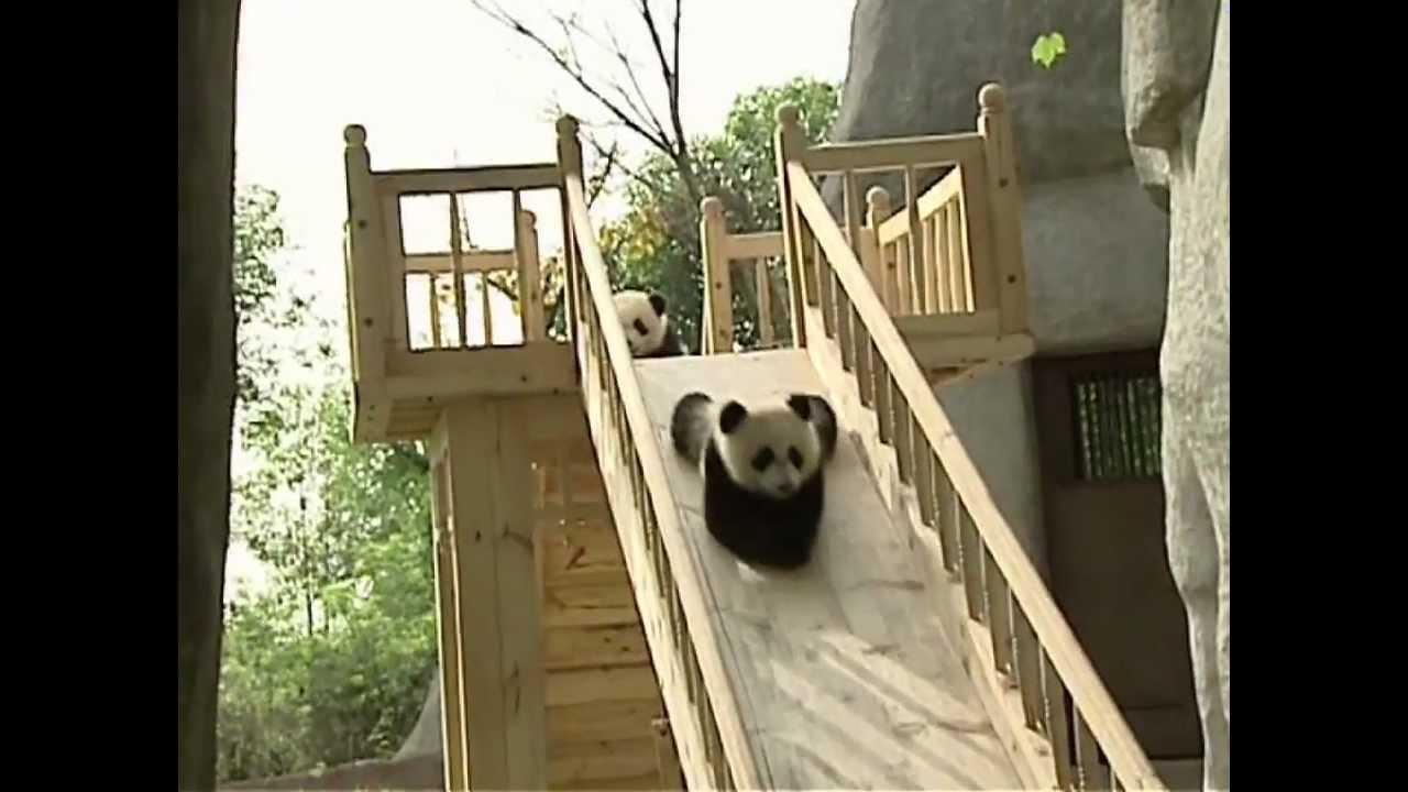 Quatre pandas font du toboggan