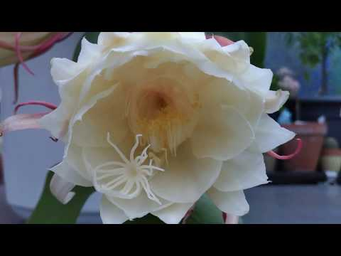 Hoa Quỳnh nở - Noisiel 04/08/17