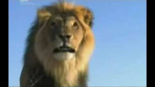 The (real) Lion King Part 6