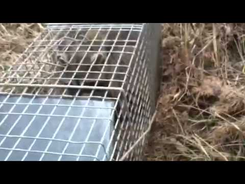 how to trap a raccoon in a live trap
