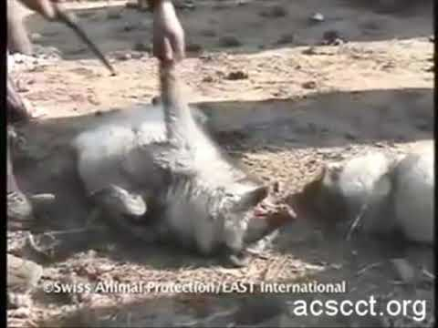Animals are Skinned Alive on Chinese Fur Farms