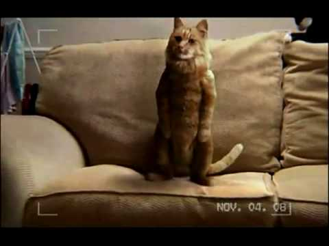 Dancing Cat Advert