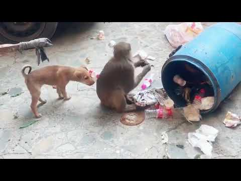 FUNNY monkey and Dog fighting video