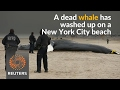 Dead whale washes up on New York City beach