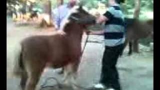 Caballos Ponys Apareandose