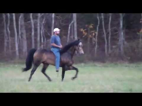 Speed Racking Singlefooter Stallion Rowdys Rebel Gold