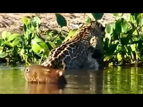 Flagra: Onça ataca capivara * Jaguar attacks capybara
