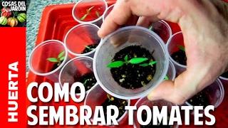 Sembrar tomate desde semilla