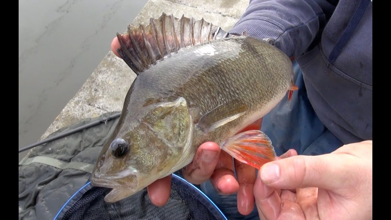 perch fishing with bobbers tips