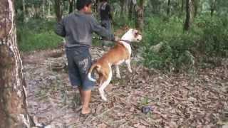 Buru Babi Hutan Dumai 2011