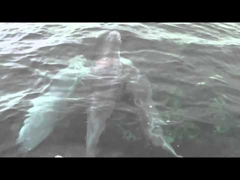 Dolphins Kangaroo Island
