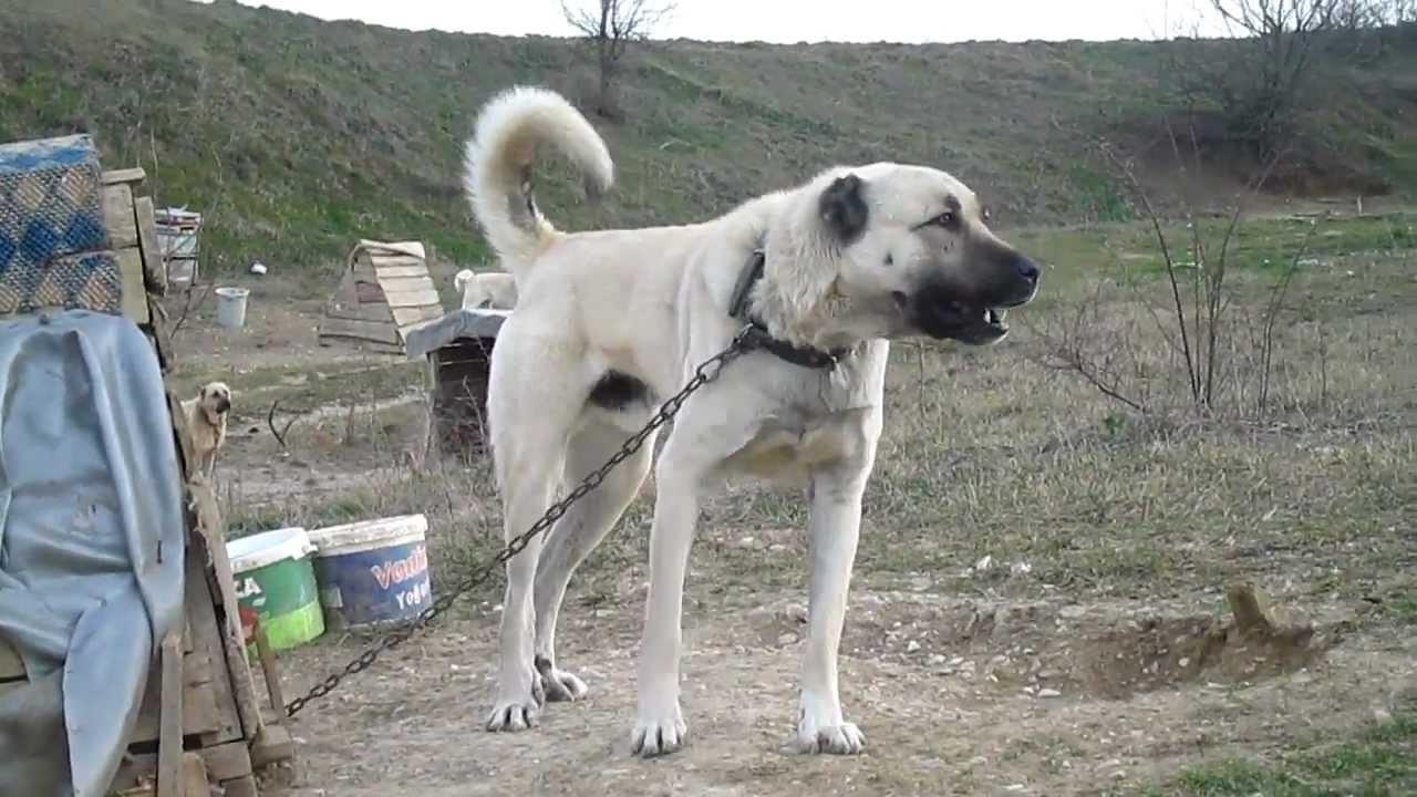 Kangal Dog Bite