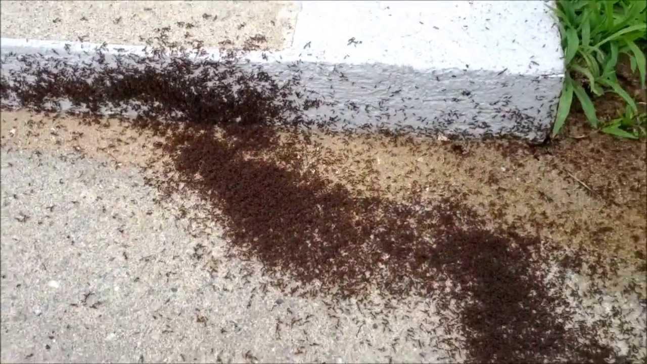 invasion de fourmis rouges youtube. Black Bedroom Furniture Sets. Home Design Ideas