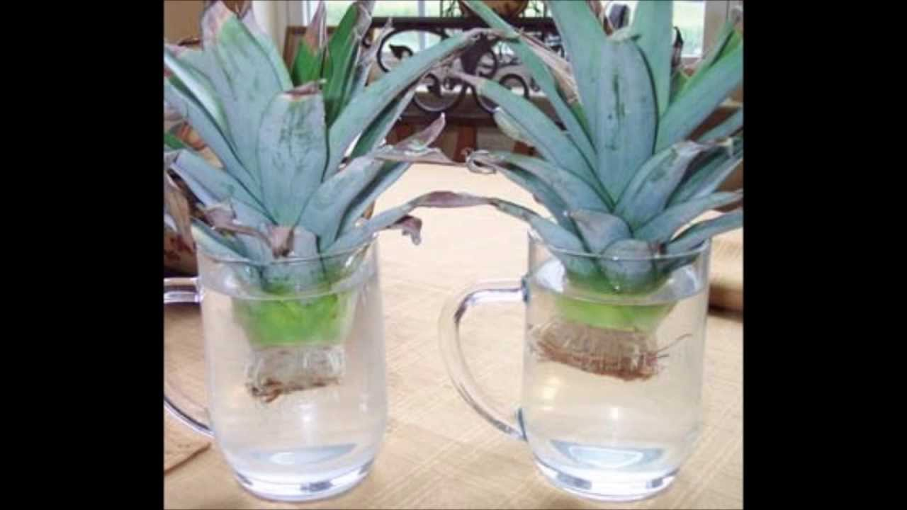 Growing pineapple start to finish youtube for Plant pineapple top