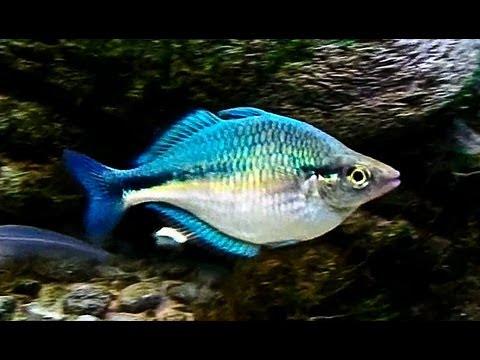 Turquoise rainbow fish update up close youtube for Turquoise rainbow fish