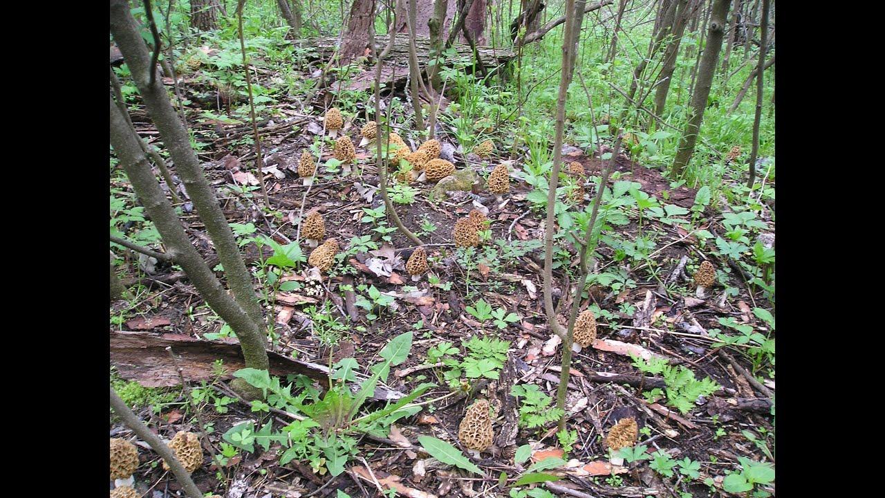 Planting Under Elm Trees : Morel mushrooms lbs mother lode under a elm