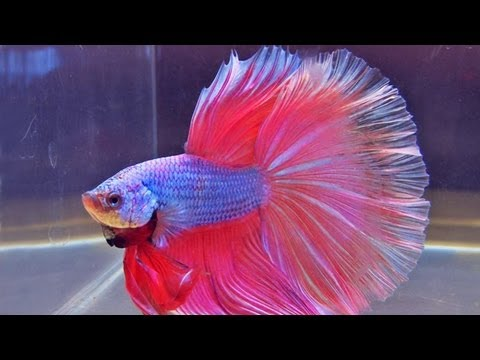 "The International Betta Competition - magnificent fighting fish on show, During the ""Aqua-Fisch"" Kampffischfreunde.de presented the International Betta Competition. Kampffischfreunde.de is a chapter of the International Betta Cong..."