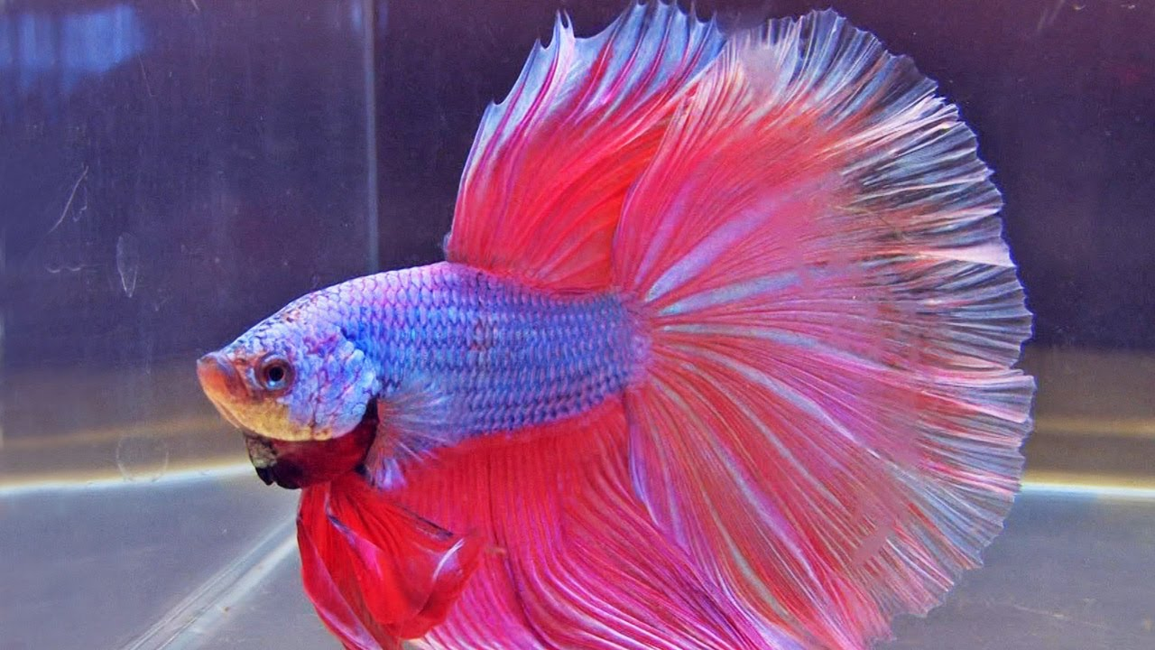 The international betta competition magnificent fighting for Show betta fish