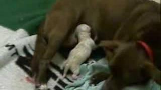Dilbert The First 2 Days (new Born Puppy)