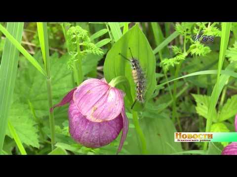Грациозные и краснокнижные. В Искитимском районе хотят сделать заповедник орхидей