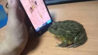 צפרדע ואייפון