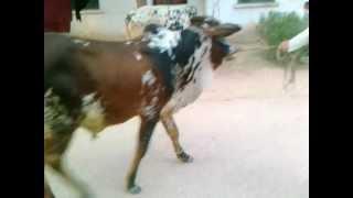 7 Cow