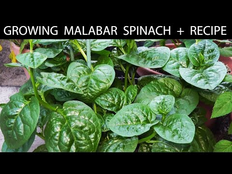 How To Grow Malabar Spinach + EZ Fritters Recipe