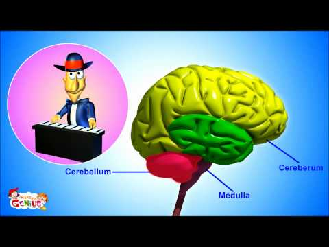 The Nervous System- Animation-Video for Kids -from