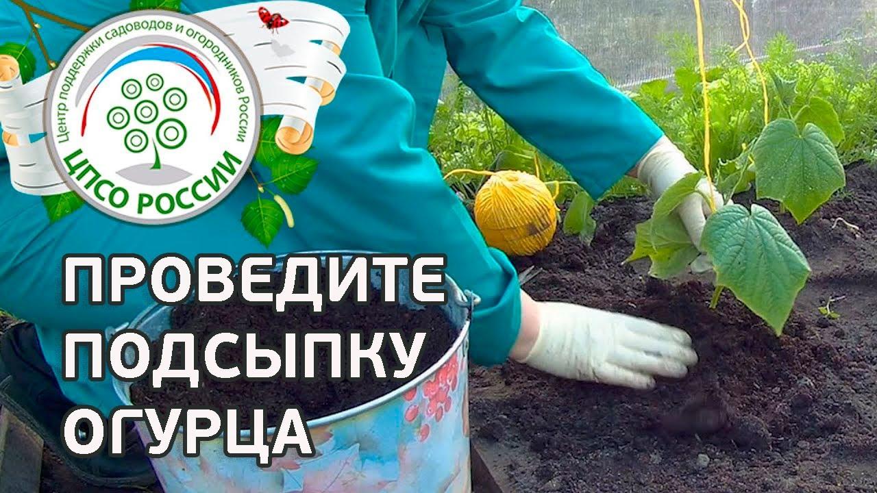 Как посадить брокколи на рассаду пошаговое фото