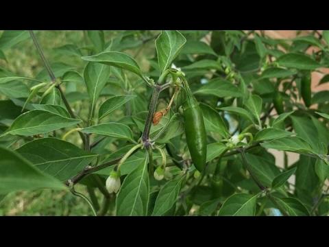 মরিচ গাছ ও পুদিনা নিয়ে কিছু কথা ॥ Few info about Chili Plant and Mint Herbs || Gardening Spring 2017