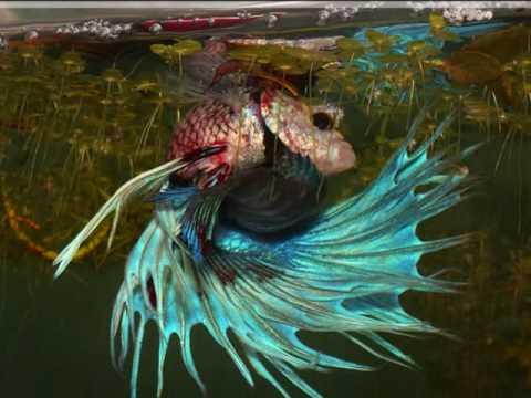 Betta fish fight youtube for Why do betta fish fight